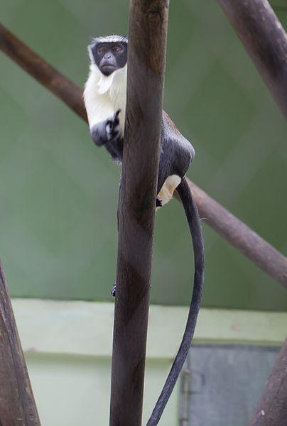 File:Cercopiteco diana (Cercopithecus diana), Tierpark Hellabrunn, Múnich, Alemania, 2012-06-17, DD 01.jpg