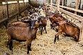 Chèvres ferme du Menez-Hom 05.jpg