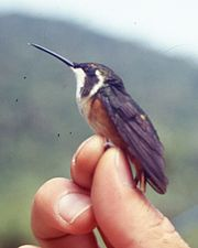 Chaetocercus mulsanti