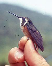 Chaetocercus mulsanti.jpg
