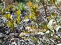 Chamaedaphne calyculata 2015-04-16 490.jpg