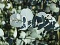 Champillon-FR-51-Bellevue-point de vue-eucalyptus-a1.jpg