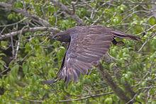 Sexual orientation changeable hawk