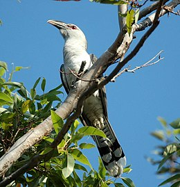 Channel-billed Cuckoo Sep07 kobble.jpg