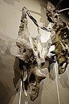 Chasmosaurus belli skull 2 salt lake city.jpg