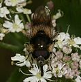 Cheilosia illustrata (male) - Flickr - S. Rae.jpg
