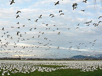 Fir Island (Washington) - Snow geese feed in agricultural fields of Fir Island in the winter