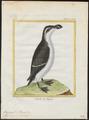 Chenalopex torda - 1700-1880 - Print - Iconographia Zoologica - Special Collections University of Amsterdam - UBA01 IZ17800173.tif