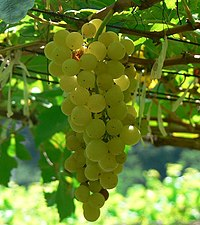 Photo of a cluster of Chenin Blanc grapes.