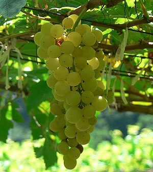 A cluster of Chenin Blanc grapes.