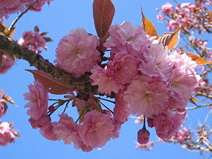 English: Cherry Blossom
