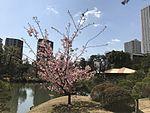 Cherry blossoms in Shukkei Garden.jpg