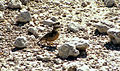 Chersomanes albofasciata, Etosha NP 1999-08-04 JoRoRe.jpg