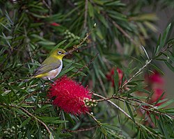 Chestnut-flanked White-eye (Female).jpg