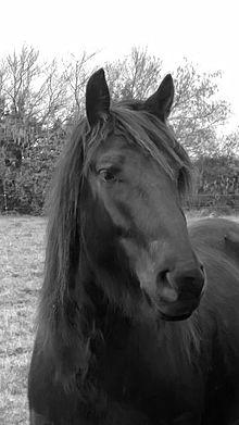 Tête d'un cheval noir, les oreilles écartées.