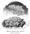 Chicorée blanche frisée mousse Vilmorin-Andrieux 1904.png