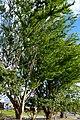 Chiminango (Pithecellobium dulce) (14516519120).jpg
