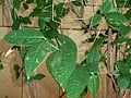Chimonanthus praecox, lower, b, Manie van der Schijff BT.jpg