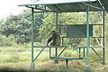 Chimpanzee in Vandalur zoo.jpg
