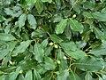 Chionanthus foveolatus subsp major, loof en vrugte, Manie vd Schijff BT, d.jpg