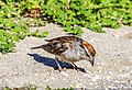 Chipping Sparrow (43822797021).jpg