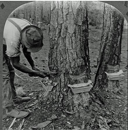 Chipping a turpentine tree in Georgia (US), circa 1906-20 Chipping a turpentine tree.jpg