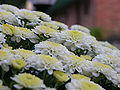 Chrysanthemum Bunch Closeup 3264px.jpg