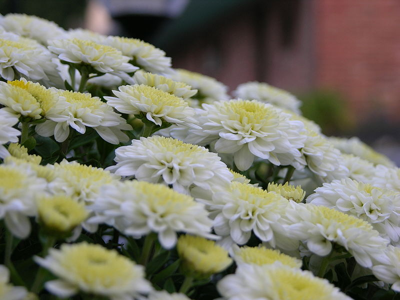 File:Chrysanthemum Bunch Closeup 3264px.jpg