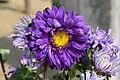 Chrysanthemum morifolium Flower.jpg