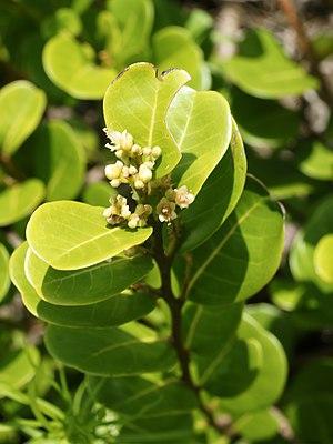 Chrysobalanus icaco - Chrysobalanus icaco leaves and flowers