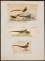Chrysolophus pictus - 1700-1880 - Print - Iconographia Zoologica - Special Collections University of Amsterdam - UBA01 IZ16900256.tif