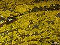 Chrysothrix sp. - Flickr - pellaea (3).jpg