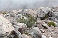 Chuquiraga jussieui on Chimborazo.jpg