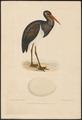 Ciconia nigra - 1886-1887 - Print - Iconographia Zoologica - Special Collections University of Amsterdam - UBA01 IZ17600035.tif