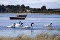 Cisnes de cuello negro (36280630003).jpg