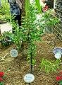 Citrus reticulata - Shinjuku Gyo-en Greenhouse - Tokyo, Japan - DSC05744.jpg