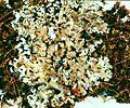 Cladonia caespiticia.jpg