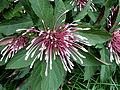 Clerodendrum quadriloculare at Fairchild Tropical Botanical Garden.jpg