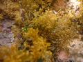 Clinitrachus argentatus 1.png