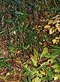 Clintonia udensis (Mount Teraji).jpg