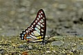 Close wing position of Graphium chironides Honrath, 1884 – Veined Jay WLB DSC 8962.jpg