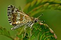 Close wing position of Spialia galba Fabricius, 1793 – Indian Grizzled Skipper.jpg