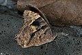 Close wing posture dry season form of Melanitis leda Linnaeus, 1758 – Common Evening Brown WLB DSC 0265.jpg