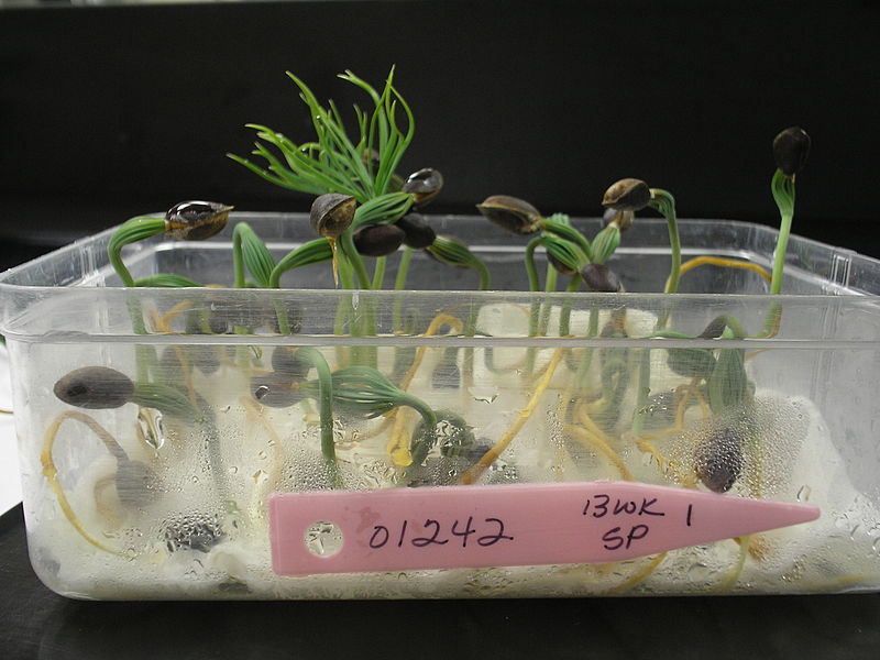 File:Closeup of Seed Germination Test - Photo by USFS Region 5.jpg