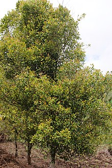 220px-Clove_trees.JPG