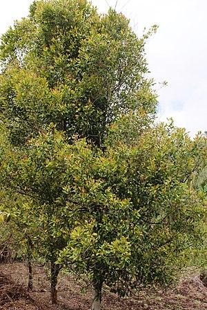 Clove, Syzygium aromaticum