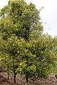 Clove trees.JPG