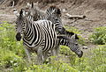 Clump of zebra, Kruger National Park, South Africa. (20314969512).jpg