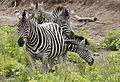 Clump of zebra, Kruger National Park, South Africa. (20314969512).jpg