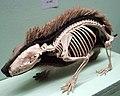 Cmglee Horniman hedgehog skin skeleton.jpg